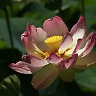 Lotus by indiafrank
