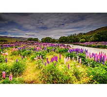 The Lupins in Lindis Pass Photographic Print