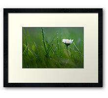 Daisy in the wet grass... Framed Print