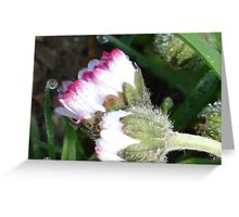 Two little daisies Greeting Card