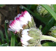 Two little daisies Photographic Print