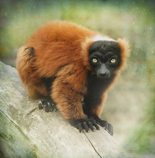Red Ruffed Lemur by peaky40