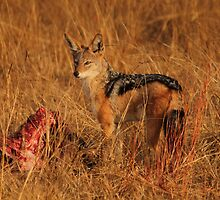 Blacl backed Jackal Kill by Michelle Sole