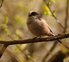 Long Tailed Tit by Adrian McGlynn