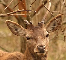 Red Deer At Castle Archdale by Adrian McGlynn