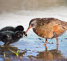 Virginia Rail and Her Chicks: Sharing by John Williams