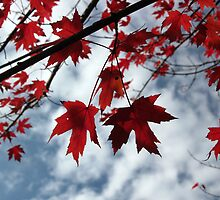 Maple Red 1 by marybedy