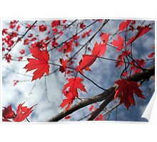 Maple Red 2 Poster