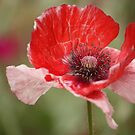 this poppy by ANNABEL   S. ALENTON