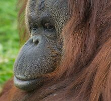 Orangutan (Ponga pygmaeus) by ensell