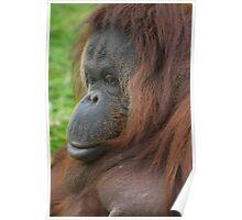 Orangutan (Ponga pygmaeus) Poster