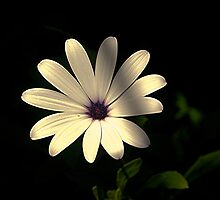 I'm only a humble Daisy.......! by Roy  Massicks