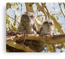 First Day On The Big Branch  Baby Tawny Frogmouth  Canvas Print