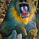 MANDRILL~~~Mandellus sphinx~~***Endangered by Sassafras