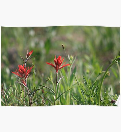 COLORADO INDIAN PAINT BRUSH Poster