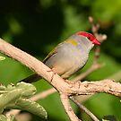 Red Brow Finch by Kym Bradley