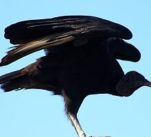 The Black Vulture by Don Rankin
