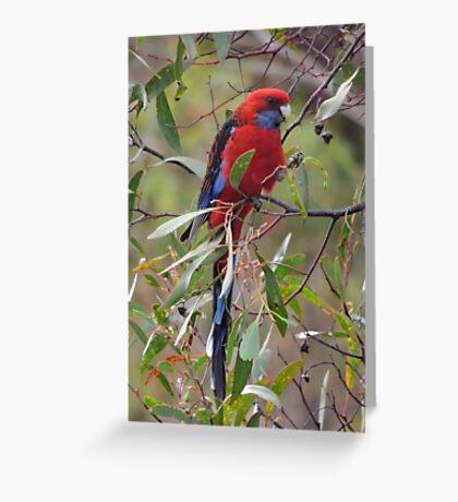 Crimson rosella (Platycercus elegans) - Kangaroo Island Greeting Card