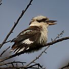 Kookaburra by Kym Bradley