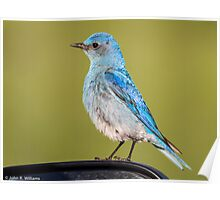 Mountain Bluebird: Objects May Appear Larger on The Rear View Mirror Poster