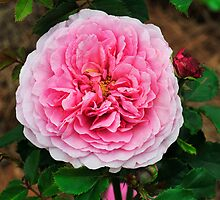 David Austin Shrub Rose 'Princess Alexandra of Kent' by Dency Kane