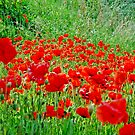Poppies by Danielle Girouard