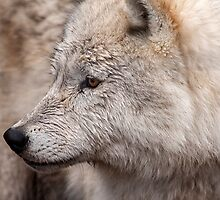 Arctic Wolf by Eunice Gibb