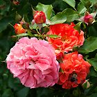Floribunda Rose 'Brothers Grimm' by Dency Kane