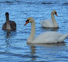 Pair of Adult Swans with Juvenile by Adrian Wale
