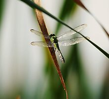 Fall Dragonfly by Thomas Mckibben
