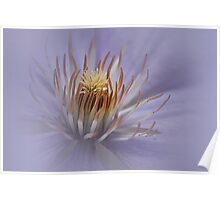 Misty Lilac Clematis Poster