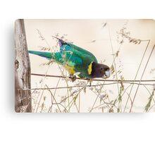 Australian Ringneck Parrot Canvas Print