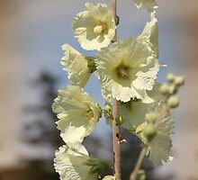Single Buttercream Hollyhock by JMcCombie