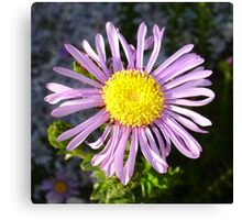 Magenta Aster - A Star of Love and Fidelity Canvas Print