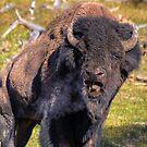 Big Bull Grunt by JamesA1