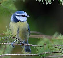 Blue tit - III by Peter Wiggerman