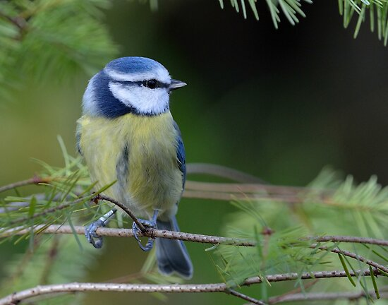 Blue tit - III by Peter Wiggerman