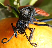 Face of Tarantula Hawk Spider Wasp on Orange by rhamm