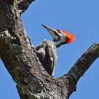 Pileated Woodpecker (cover) by William Brennan
