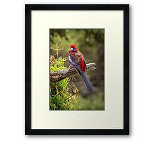 Crimson Rosella Framed Print