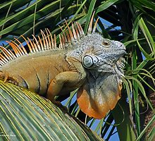 Green Iguana by William Mertz