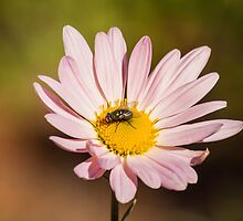 Daisy and Fly by Thomas Young