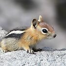 Cute Chipmunk Gifts