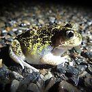 Painted Burrowing Frog (Neobatrachus pictus) - Kangaroo Island by Dan & Emma Monceaux