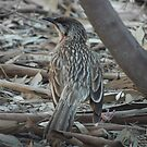 Red wattlebird (Anthochaera carunculata) - Thorndon Park, South Australia by Dan & Emma Monceaux