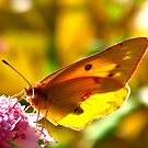 Tattered Butterfly by Christine Ford