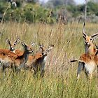 Red Lechwe in the Delta by jozi1