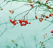 Winter Berries by LawsonImages