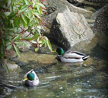 """Duck Pond"" - Ganges Harbour, Salt Spring Island by Dawn144"
