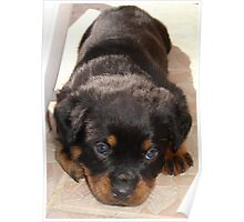 Cute Rottweiler Puppy With Head On Paws Poster
